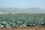 Brassica at Harvest
