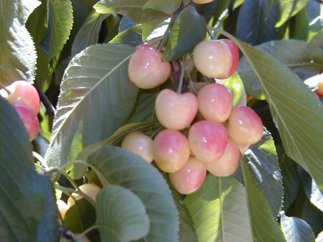 Low-Acid Cherries, WA State