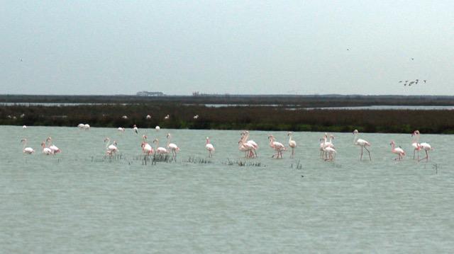 Flamingos feeding in aquaculture operations