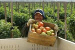 tomato harvester